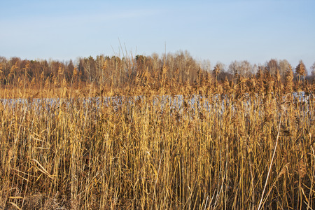 thickets: Thickets of dry reeds on the river bank in the winter