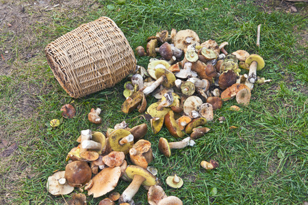 wild mushrooms: Wicker basket and wild mushrooms, scattered on a green grass