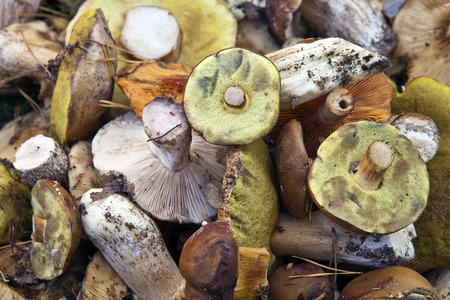 lamellar: There are many different edible wild mushrooms, photographed close up