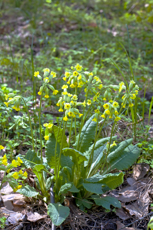 Primrose plant with yellow flowers in the spring forest
