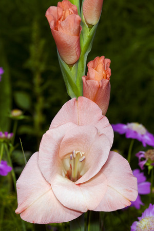 Pink gladiolus flowers on a stalk, photographed close up