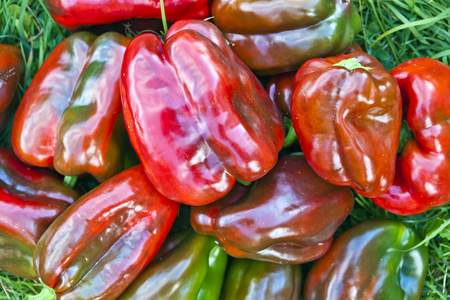 The fruits of sweet red peppers on a green grass