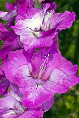 Purple gladiolus flowers on a stalk, photographed close up