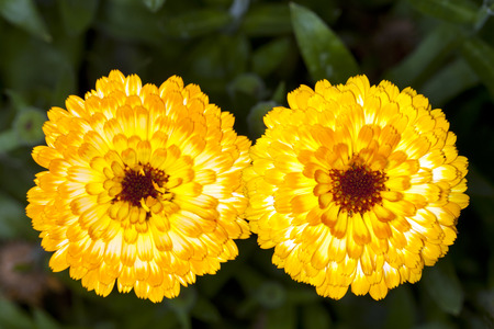 Marigold flowers with orange petals, photographed close up