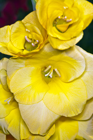 Yellow gladiolus flower on a stalk, photographed close up