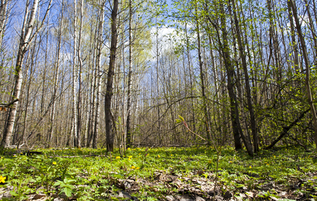 Sunny day in early spring in the deciduous forest
