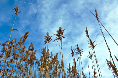 Dry stems and panicle reed against the blue sky