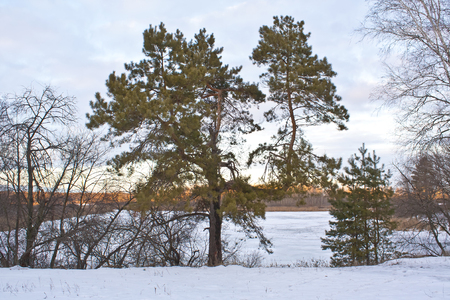 Old curve pine on the shore of a frozen river in the winter