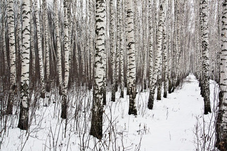 The trunks of the birch trees on the background of snow in the winter woods Stock Photo