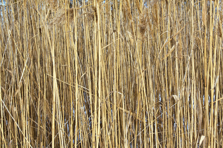 Dry stems and inflorescences of the reed on snow