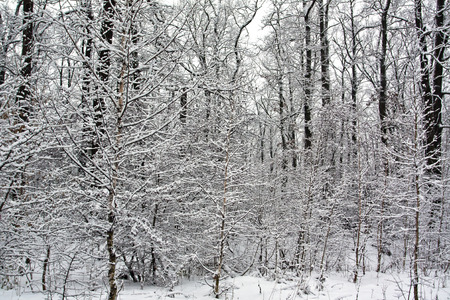 Snow on deciduous trees in winter in the forest Stock Photo