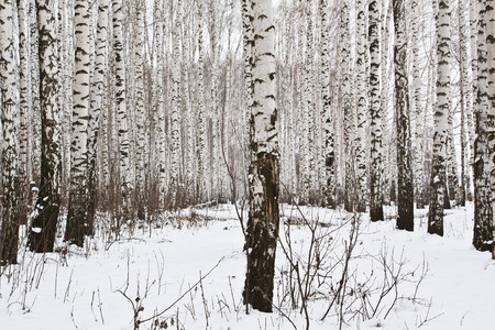 birch trees: The trunks of the birch trees on the background of snow in the winter woods Stock Photo