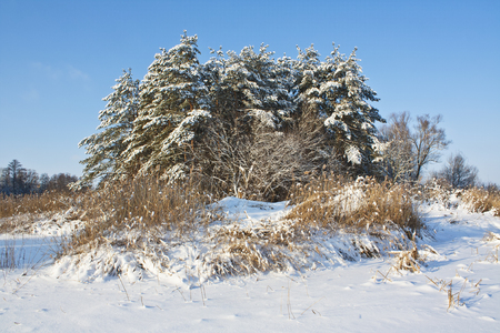 frozen river: Pine trees and dry reeds on the shore of a frozen river