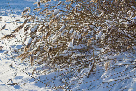 frozen river: Dry reed in the snow on the shore the frozen river