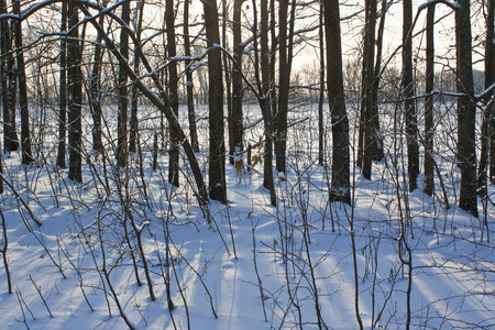 The trunks of the trees on a snowy field, lit by a low sun Stock Photo