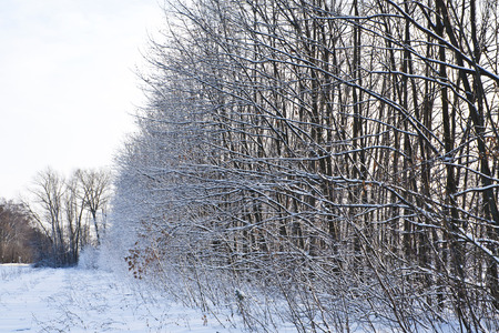 The forest belt of leafless trees, with snow on the branches
