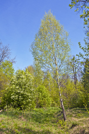 Bush of blossoming wild cherry and birch forest in the May