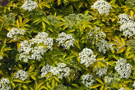 Elderberry bush with white flowers, green leaves and buds