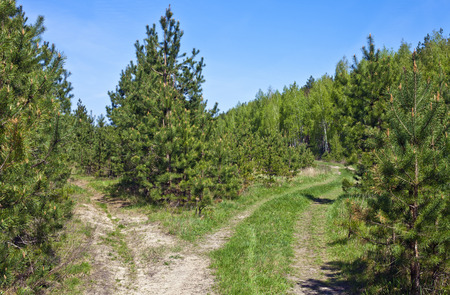 Fork of dirt roads on the outskirts of a pine forest