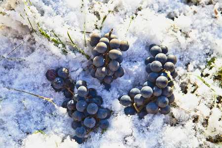 Bunch of blue grapes and green grass in the snow Stock Photo