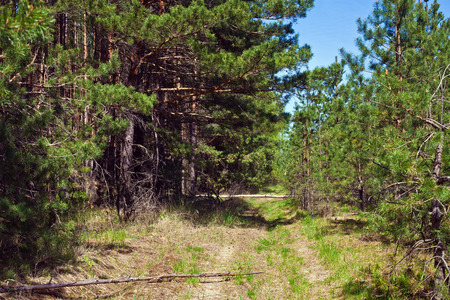 Dirt road in a pine forest on a summer afternoon
