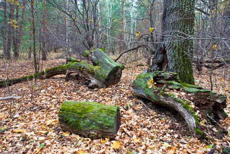 Moss covered trunks of old trees in the autumn forest