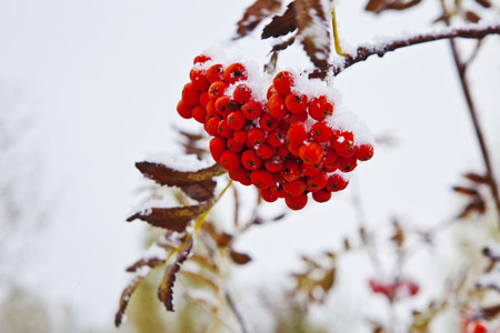 Bunch of red rowan under snow on a branch Stock Photo
