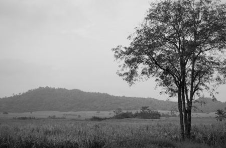 Tree in the middle of Sugar cane fields black   white   photo
