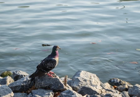 Pigeon on stone the shore  photo