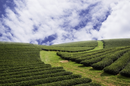 Beautiful fresh green tea plantation at chiangrai, Thailand photo