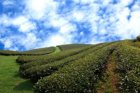 sencha tea: Beautiful fresh green tea plantation at chiangrai, Thailand
