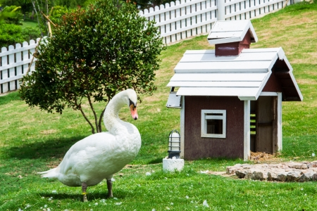 A white swan and the home on grass photo