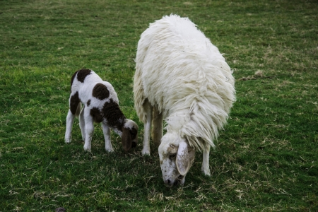 naivety: Mother sheep and her lamb in green meadow