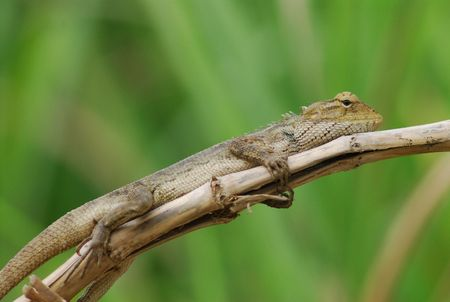 lizard in field: naturaleza lagarto Foto de archivo