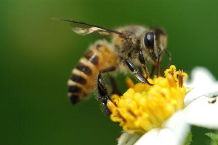 bee and flower                           Foto de archivo
