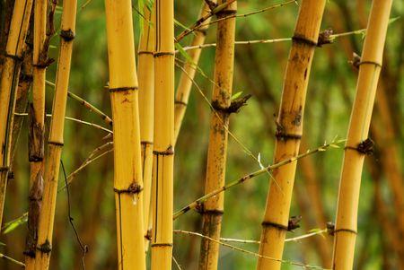 yellow bamboos Stock Photo