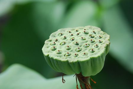lotus seed in the gardens Stock Photo