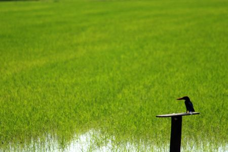plough machine: king fisher and paddy field