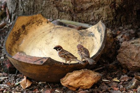 sparrows eating rice in the gardens  photo