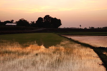 paddy field, house and trees in the morning at countryside