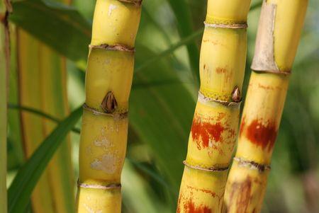 Suikerriet groeien in de tuin