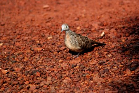 pigeon on the red ground  photo