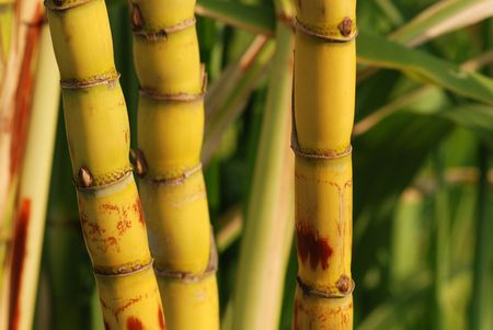 geel suikerriet op de tuinen Stockfoto