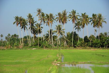plough machine: paddy field and coconut trees at the countryside Stock Photo