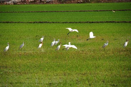 plough machine: birds flying in the paddy field