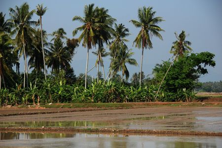 plough machine: coconut trees and paddy field in the countryside