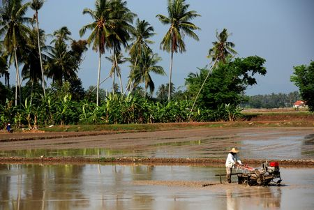 plough machine: coconut trees and farmer driving a plough machine in the paddy field  Stock Photo