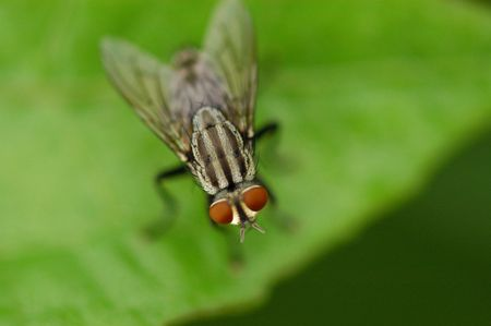 housefly: housefly in the gardens