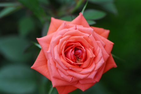 orange color roses in the gardens  photo