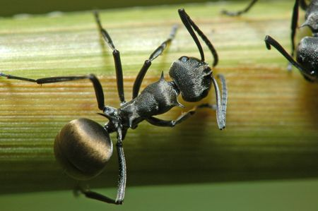 black ants in the gardens                              Stock Photo